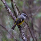 Western Yellow Robin, Margaret River, WA