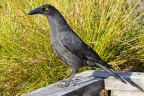 Black Currawong, Cradle Mountain, Tas