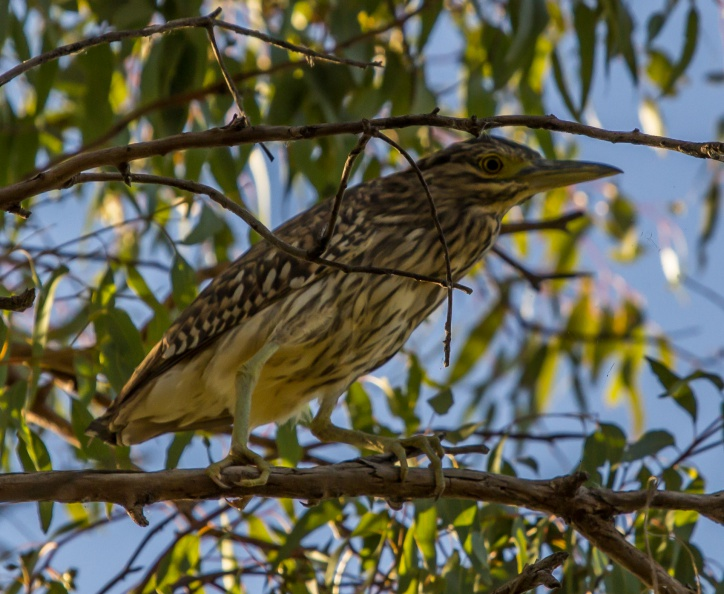 Nankeen Night Heron - juv.jpg