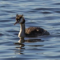 Great Crested Grebe, Herdsman, WA