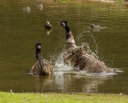 Emu Bathing, Bridgetown, WA