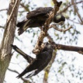 Carnaby's Black Cockatoos
