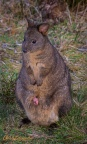 Pademelon and Joey