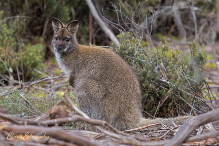 Bennett's Wallaby